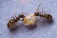 Ameisen mit Puppe Quelle: Christopher Pull (idw)
