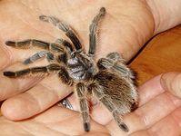 Tarantel: Ängstliche sehen Spinnen größer als sie sind (Foto: Flickr/Eggybird)