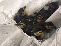 Die acht geborgenen Entenküken.