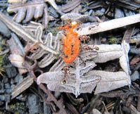 Der fetthaltige rote Samenmantel der Clusia-Samen ist für Ameisen eine attraktive Nahrungsquelle. Sie transportieren ihn in ihre Nester, wo die Samen im Schutz der Streuschicht gute Keimbedingungen vorfinden. Bild: Copyright: s Gallegos