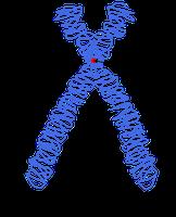 Schema eines submetazentrischen Metaphasechromosoms. (1) Einer der beiden Chromatiden (2) Centromer, die Stelle, an dem die beiden Chromatiden zusammenhängen. Hier setzen in der Mitose (siehe auch unten) die Mikrotubuli an. (3) Kurzer Arm (p-Arm). (4) Langer Arm (q-Arm). Bild: Chromosome-upright.png: Original version: Magnus Manske, this version with upright chromosome: User:Dietzel65 / derivative work: Tryphon (talk) / de.wikipedia.org