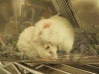 """Gezüchtet, gequält, getötet: """"Labormäuse"""". Bild: PETA"""