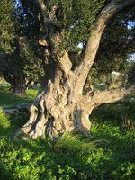 Stamm eines alten Olivenbaums.
