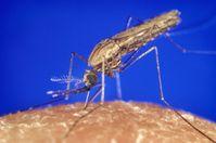 Die Stechmücke Anopheles bei der Blutmahlzeit