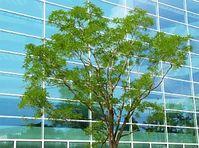 Baum in der Stadt: Medizin für die Psyche Bild: pixelio.de/Heidemann-Grimm