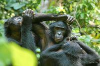 Soziales Miteinander bei den Bonobos: Die Tiere kommunizieren auch mittels Zeigegesten und Pantomime miteinander. Quelle: LuiKotale Bonobo Project/ Zana Clay (idw)