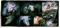 Massenqual für fühlende Schweine (Symbolbild)