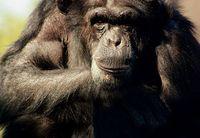 Schimpanse: Unterschiede auch im Darm. Bild: pixelio.de, Nadine Becker