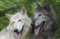 Wölfe gehen toleranter miteinander um als Hunde. Quelle: Foto: Walter Vorbeck (idw)