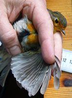 Anhand der Flügelgröße bestimmten die Wissenschaftler das Alter der Vögel. Quelle: MPI für Ornithologie, Radolfzell (idw)