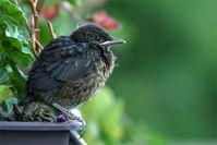 Flügges Amsel-Junge. Bild: Ingo Teich / MPI für Ornithologie