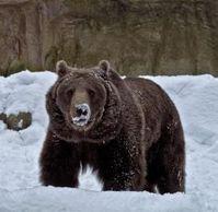 Braunbär: zum Abschuss schon ab 4.600 Euro. Bild: pixelio.de, Ich-und-Du
