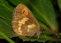 Bis jetzt noch in fast allen Gebirgen Europas zu finden: Der Schmetterling Erebia manto Quelle: © Kurt Kulac, cc-by-sa 3.0 (idw)