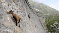 """Klettertour auf der Suche nach Mineralien: Alpensteinböcke bezwingen den 50 Meter hohen Cingino-Damm in Norditalien. Bild: """"obs/ZDF/Alex Ranken"""""""