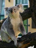 Koala Quelle: Barbara Feldmann, IZW (idw)