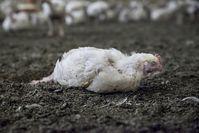 Underkoveraufnahmen: Wiesenhof und Rothkötter Hühner...