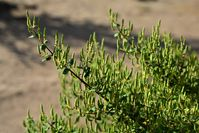 Die Arzneipflanze des Jahres 2021 ist der Myrrhenbaum.  Bild: Shutterstock Fotograf: NANCY AYUMI KUNIHIRO
