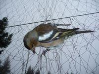 """Die letzten 92 Fanganlagen müssen heute geschlossen werden. Bild: """"obs/Komitee gegen den Vogelmord e. V."""""""