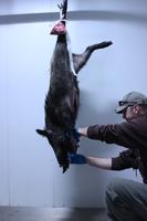 Afrikanische Schweinepest: Entnahme einer Blutprobe für einen ASP-Test bei einem in der Nähe von Kaiserslautern erlegten Wildschwein