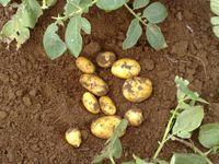 Bild: Kartoffel-Marketing GmbH