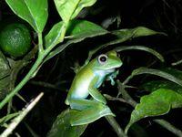 Frosch der Gattung Boophis. Bild: Vences/TU Braunschweig
