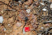 Der neu entwickelte Bodenfeuchtesensor im Einsatz in einer durch Flechten dominierten Bodenkruste in der Sukkulentenkaroo, einer Halbwüste in Südafrika. Quelle: Bettina Weber, MPI für Chemie (idw)