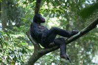 Camillo, der ranghöchste Bonobo-Mann der Studiengruppe. Auch er ist meist mit seiner Mutter anzutreffen. Bild: Caroline Deimel, Lui Kotale Bonobo Projekt