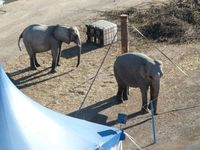 Die beiden Elefanten des Circus Carl Busch leiden an Verhaltensstörungen. Bild: (C) VIER PFOTEN.