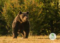 Arthur war der größte Bär in Rumänien und möglicherweise in der Europäischen Union · Bild: Facebook/Agent Green / UM / Eigenes Werk