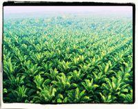 Palmölplantagen: Nach aktuellem Agro-Landwirtschaftsmodell werden dazu die Regenwälder niedergebrannt und schier unendliche Monokulturen gepflanzt mit katastrophalen Folgen für alles Leben (Symbolbild)