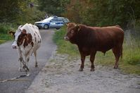 Stier auf Abwegen (Symbolbild)