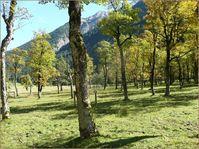 Eine Bergahornweide am Grossen Ahornboden in Tirol, Österreich. Quelle: Thomas Kiebacher / Eidg. Forschungsanstalt WSL (idw)