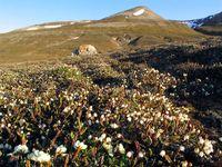 Blühende Tundrenvegetation auf Spitzbergen: Vierkantige Schuppenheide (Cassiope tetragona)