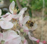 Wildbiene beim Besuch einer Blüte Quelle: Foto: A.-M. Klein (idw)
