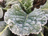 Bei kalten Temperaturen wandelt Grünkohl komplexe Kohlenhydrate in den Zellwänden zu kleineren Zuckermolekülen um, die allesamt süß sind und den Grünkohl besser schmecken lassen.