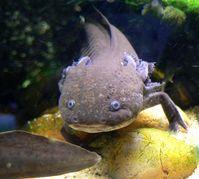 Axolotl (Ambystoma mexicanum), Molch
