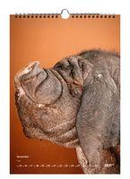 """Das ist Cindy. Sie ist ein Meishan oder Chinesisches Maskenschwein und ziert ein Kalenderblatt im Greenpeace Magazin Edition Jahreskalender 2021 """"Saugut""""   Bild: """"obs/Greenpeace Media GmbH/Manfred Jarisch"""""""
