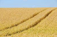 Viele Weizen und auch Dinkelsorten sind extrem auf den Gluten-Kleber gezüchtet worden und sind unnatürlich (Symbolbild)