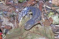 """Der Bergmolch """"Ichthyosaura alpestris (Salamandridae)"""" jagt zu Wasser und zu Lande - mit unterschied Quelle: Egon Heiss (idw)"""