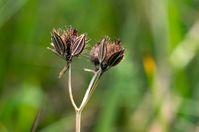 Die gefährdete Pflanzenart Orlaya grandiflora. Quelle: Foto: Universität Regensburg – Zur ausschließlichen Verwendung im Rahmen der Berichterstattung zu dieser Pressemitteilung. (idw)