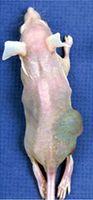 Tierversuche: Eine athymische Maus mit einem implantierten humanem Prostatakarzinom. Athymische Mäuse werden häufig in der Krebsforschung als Modellorganismus verwendet.