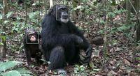 Die neue Software durchsucht Fotos und Videosequenzen, analysiert die Affengesichter und ordnet sie einzelnen Tieren zu. Bild: Dr. Tobias Deschner – MPI EVA (2009), Taï Nationalpark