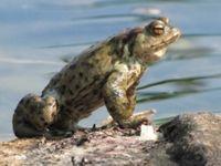 Amphibien droht eine miserable Zukunft. Bild: F.Hollenbach/pixelio
