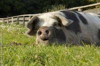 Schwein liegt auf einer Wiese im Tierpark Arche Warder e.V., Zentrum fŸr alte Nutztierrassen. Bild: Sabine Vielmo / Greenpeace