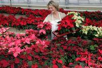 Die Weihnachtssternsaison hat begonnen. Millionen von Weihnachtssternen warten in den Gärtnereien im ganzen Land auf den Verkauf. Bild: obs/Stars for Europe GbR