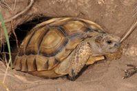 Argentinische Landschildkröte vor ihrer Unterkunft Quelle: © Peter Praschag (idw)