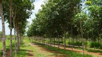 Kautschukplantage Panama.  Bild: TIMBERFARM GmbH Fotograf: TIMBERFARM GmbH