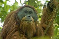Tapanuli-Orang-Utan (Pongo tapanuliensis)