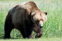 Großer Braunbär an der Südküste Alaskas (Katmai-Nationalpark)