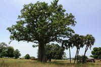 Der für die westafrikanischen Savannen charakteristische Affenbrotbaum (Adansonia digitata) ist gleichzeitig eine der am vielfältigsten genutzten Pflanzenarten.